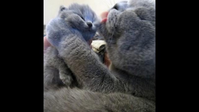 Заботливая мама - британская кошка с семейством. Питомник SILVERY SNOW